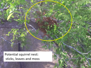 Drone photo of the squirrel's nest, showing it is abandoned
