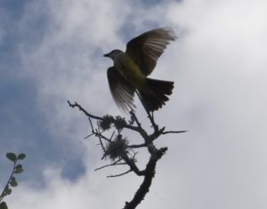 Photo of a western kingbird
